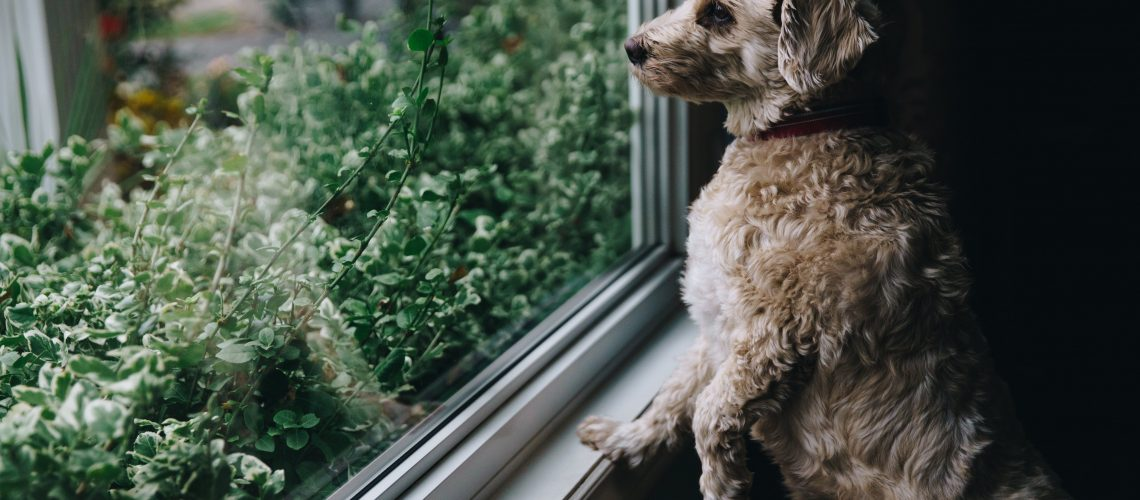 Fuzzy dog looks out window